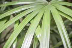 O verde das palmas deixa o fundo, fim acima Fotografia de Stock Royalty Free
