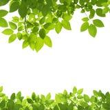 O verde deixa a beira no branco Fotografia de Stock Royalty Free