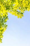 O verde deixa a copa de árvore com o fundo do céu azul horizontal Imagens de Stock