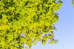 O verde deixa a copa de árvore com o vertical do fundo do céu azul Fotografia de Stock