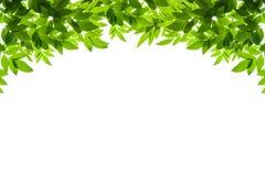 O verde deixa o frame isolado no fundo branco Fotografia de Stock Royalty Free