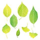 O verde deixa ilustrações pela pintura da aquarela Foto de Stock Royalty Free