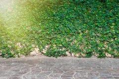 O verde deixa o assoalho da parede e do tijolo e a luz de Sun Fotos de Stock