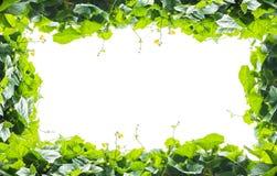 O verde deixa o frame isolado no fundo branco Imagem de Stock