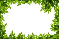 O verde deixa o frame isolado no fundo branco Fotografia de Stock