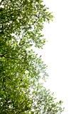 O verde deixa o fundo Imagens de Stock