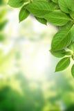 O verde deixa o fundo Imagem de Stock Royalty Free