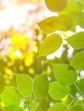 O verde deixa o fundo Fotos de Stock