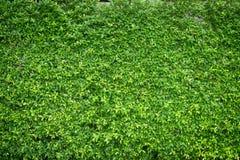 O verde deixa o fundo da parede Fotos de Stock Royalty Free