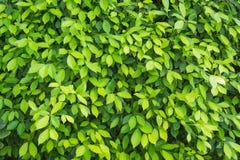 O verde deixa o fundo da parede Imagem de Stock Royalty Free