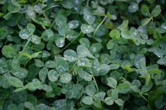 O verde deixa o fundo Folha do trevo com gotas de orvalho Imagem de Stock Royalty Free