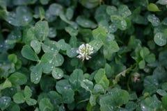 O verde deixa o fundo Folha do trevo com gotas de orvalho Imagem de Stock