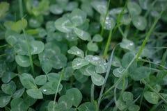 O verde deixa o fundo Folha do trevo com gotas de orvalho Fotos de Stock