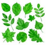 O verde deixa o grupo do vetor Imagem de Stock Royalty Free