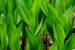 O verde deixa o lírio do vale Foto de Stock Royalty Free