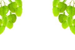 O verde deixa o quadro (a folha de Pho, BO folheia, folha do bothi) isolado no whit Fotos de Stock