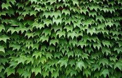 O verde deixa a parede Fotos de Stock Royalty Free