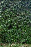 O verde deixa a parede Imagem de Stock Royalty Free