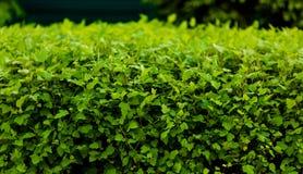 O verde deixa a parede Imagens de Stock
