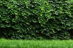 O verde deixa a parede Foto de Stock