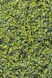 O verde deixa a parede para o fundo da textura Fotos de Stock