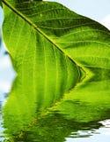 O verde deixa a textura Fotografia de Stock Royalty Free
