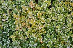 O verde deixa a textura da geada Imagem de Stock