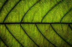 O verde deixa a textura e a fibra da folha, papel de parede pelo detalhe de gree Imagem de Stock Royalty Free