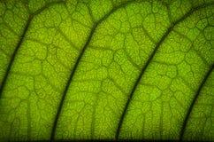 O verde deixa a textura e a fibra da folha, papel de parede pelo detalhe de gree Imagem de Stock