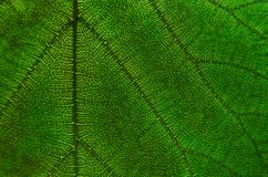 O verde deixa a textura e a fibra da folha, papel de parede pelo detalhe de gree Imagens de Stock Royalty Free
