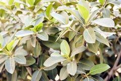 """O verde deixa a textura para arbusto planta do †do projeto do contexto da """"na rua de Catania, Sicília, Itália foto de stock"""