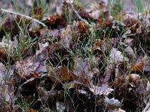 O verde dispara nas folhas de Brown - madeiras no inverno Fotos de Stock