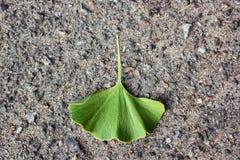 O verde do biloba da nogueira-do-Japão sae na folha de pedra de Autumn Ginkgo do fundo da textura do asfalto Igualmente árvore de fotografia de stock