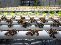O verde e o radicchio hidropônicos da salada Fotografia de Stock