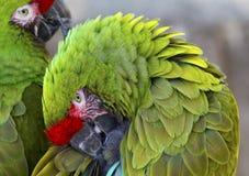 O verde empluma-se Macaws militares Fotos de Stock Royalty Free