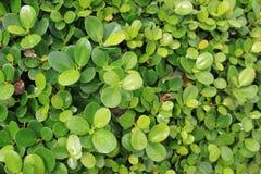 O verde folheia fundo Imagens de Stock Royalty Free