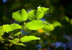 O verde fresco bonito sae em um ramo de árvore Fotografia de Stock Royalty Free