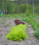 O verde fresco deixa espinafres no jardim Fotos de Stock