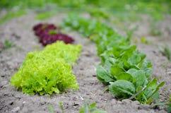 O verde fresco deixa espinafres no jardim Imagens de Stock Royalty Free