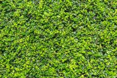 O verde fukien o fundo da árvore do chá Fotos de Stock