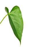 O verde isolou a folha do antúrio isolada no branco Fotos de Stock