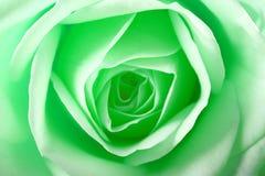 O verde levantou-se Imagem de Stock