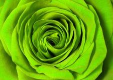 O verde levantou-se Imagens de Stock Royalty Free