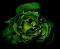 O verde levantou-se Fotografia de Stock Royalty Free