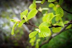 O verde macio sae em um ramo de árvore, mola veio, obscuridade para trás Fotos de Stock