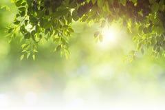 O verde natural deixa o fundo branco Fotos de Stock