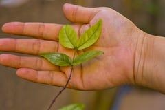 O verde novo sae na mão da mulher, cuidado para a vida nova Imagens de Stock Royalty Free