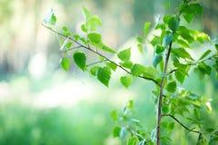 O verde pequeno sae em um ramo para seu projeto Imagens de Stock Royalty Free