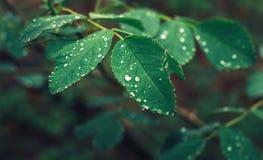 O verde sae com as gotas do orvalho em um fundo borrado imagem de stock royalty free