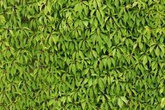 Folhas contra a parede Fotos de Stock Royalty Free